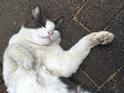 【かわいいネコ画像】ベンツのタイヤで爪研ぎをする野良猫
