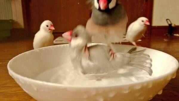 【おもしろトリ画像】文鳥の上に見事着地した文鳥の堂々とした姿