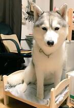 【かわいいイヌ画像】子猫用のベッドでくつろいじゃうハスキー犬