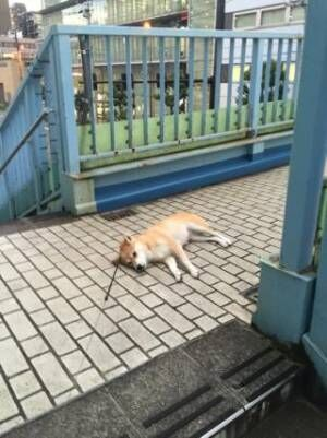 【かわいいイヌ画像】散歩から帰りたくない犬の抗議がカワイイ