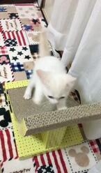【かわいいネコ画像】爪研ぎ台から落ちた後に決めポーズを取るニャンコ