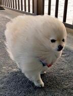 【かわいいイヌ画像】強風でオールバックになっているポメラニアンが可愛い