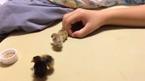 【かわいいトリ動画】飼い主の手を巣と勘違いするヒメウズラたちに悶絶