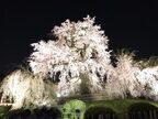 「祇園の夜桜」樹齢約87年のしだれ桜、京都ならではの花見の名所 へ【KAORU from KYOTO vol.23】