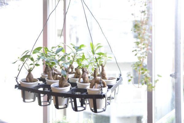 ワークショップで学ぶ都会のボタニカルライフ。ビギナーにも個性派にもぴったりの南国植物・ガジュマルを好きな器で楽しむ。