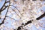 お花見デートでリフレッシュ!「桜」に癒し効果がある理由
