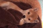 【動画】うるうるの瞳に見上げられて悶絶!! 毛布にくるまって遊ぶ柴犬の赤ちゃん