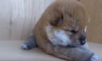 【動画】まるでぬいぐるみ! 生まれたてモフモフの柴犬赤ちゃんをなでなですると……?