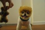 """【動画】もっふもふ!! 柴犬カットしたポメラニアンが""""ぬいぐるみ""""にしか見えない……!"""