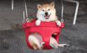 【動画】ニッコリ満面の笑み!! 大好きなブランコを120%楽しむ柴犬