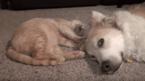 """【動画】肉球マッサージに「気持ちいいワン……」 """"仲良し犬猫""""のほんわか癒される日常"""