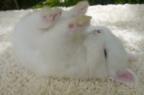 """【動画】すやすや眠る姿、まるで""""ぬいぐるみ""""!! 真っ白でふわふわの小さなウサギ"""