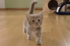 【動画】短い脚でテチテチ…… 無邪気に歩き回るマンチカンの子猫