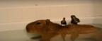【動画】まさに楽園……お風呂中のカピバラにアヒルたちが!?