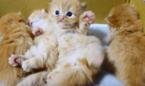 【動画】「んニャー!」マンチカンの子猫が起き上がるのに大苦戦……結末はいかに?