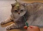 【動画】もはや飼い主が遊ばれてる!? おデブ猫流、ねこじゃらしの楽しみ方