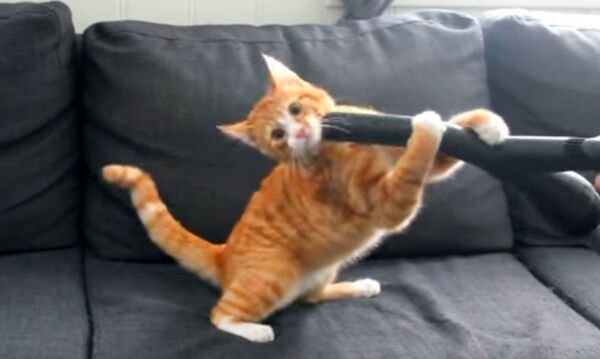 【動画】お顔もスポッ!! 大好きな掃除機ではしゃぐ猫ちゃん