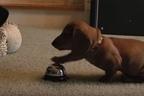 【動画】「もっとおやつちょうだい!」ベルを鳴らして何度もおねだりダックスフンド!