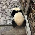 シャンシャンの尻尾は黒? 白? 知っているようで知らないパンダのこと