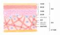 肌の構造とその役割