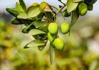 日光を当てるだけ!ズボラな人でもできる観葉植物「オリーブの木」の育て方