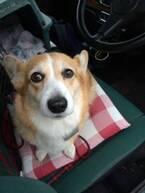 犬のフリー乗車は道交法違反!愛犬を危険から守る乗車法とは?