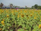ひまわり畑に臨時停車!バンコク発「ひまわり列車」の旅
