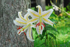 神戸の避暑地で「ヤマユリ」咲き始める
