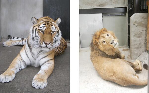 アムールトラとライオンのラージャー