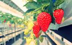 いちご狩りシーズン到来! 子どもにも安心の低農薬のいちご園(食で心を育む Vol.13)