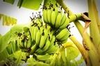 バナナが黒いと実は食べごろ!おいしくなるタイミングと驚きの効能を紹介