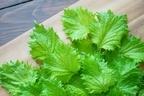 大葉に含まれる栄養素と効能がすごい!選び方や長期保存の方法まで徹底解説
