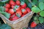 いちごの栄養には健康・美容効果たっぷり!正しく食べてきれいになろう