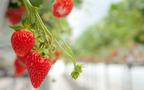 軽井沢・ホテルブレストンコートの新作は、獲れたて「苺のパルフェグラス」