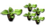 出回らないなら自分で育ててしまおう、健康によい野菜・ヤーコンの魅力