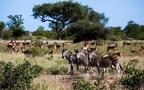 ローカルな旅を南アフリカで(2) 大自然に抱かれて過ごす、感動のサファリ