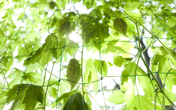種まき準備はいまから、節約にもなる「緑のカーテン」初心者向けの育て方