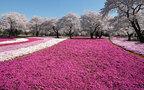 桜と富士山の最強コンビも拝める! いまからでも満開の桜が見られる穴場スポット