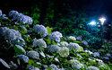 梅雨の東京を鮮やかに彩る、絶対に行きたい「あじさい祭り」3選