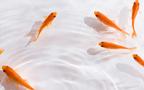 最長43年! じつは長生きな金魚を小型水槽で飼ってみよう
