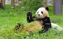 可愛すぎるぞシャンシャン! 上野の赤ちゃんパンダに会うには?
