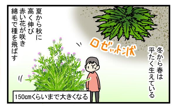 日本のアザミのような花が咲き、種を綿毛で飛ばしていました