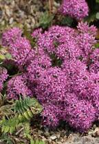 六甲高山植物園 秋に咲く数少ない高山植物様々な「ミセバヤ」の仲間が見頃です!