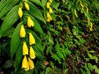 【六甲高山植物園】 山里の貴婦人「キイジョウロウホトトギス」が見頃を迎えました!