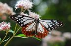 """秋を連れてくる""""渡り蝶""""「アサギマダラ」が六甲高山植物園に飛来!"""